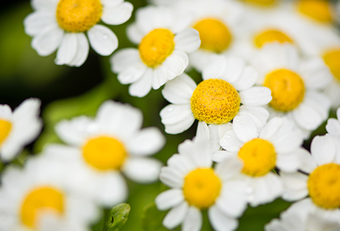 493ss_thinkstock_rf_feverfew_flower