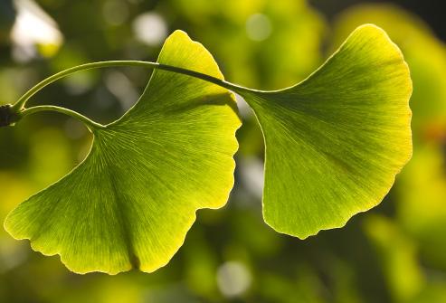 493ss_thinkstock_rf_ginko_plant_leaves