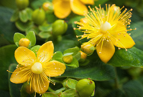493ss_thinkstock_rf_st_johns_wort_flower